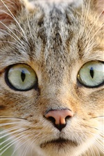 Preview iPhone wallpaper Wild cat front view, eyes, face