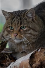 Preview iPhone wallpaper Wild cat, green eyes, rest