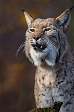 Preview iPhone wallpaper Wild cat, lynx, front view