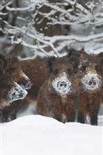 iPhone fondos de pantalla Cerdos salvajes, jabalí, invierno, nieve