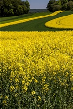Yellow flowers, rapeseed, summer