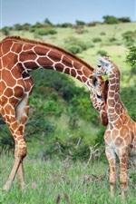 Preview iPhone wallpaper Africa, giraffe, family, Kenya