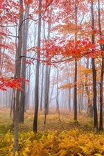 Autumn, trees, red and yellow leaves, fog, morning