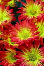 Preview iPhone wallpaper Beautiful red-yellow flowers, petals, chrysanthemum