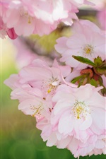 Preview iPhone wallpaper Beautiful sakura bloom, spring flowers