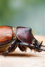 Preview iPhone wallpaper Beetle, insect macro photography