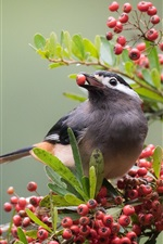 Preview iPhone wallpaper Bird eat red berries, twigs