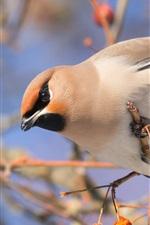 Preview iPhone wallpaper Bird, waxwing, berries