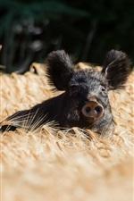 Preview iPhone wallpaper Black boar, summer
