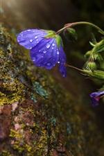 Preview iPhone wallpaper Blue flower, water drops, moss, rocks
