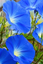 Preview iPhone wallpaper Blue flowers, morning glory