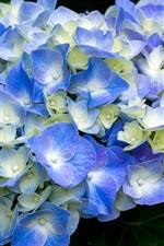 Blue hydrangea flowering, spring