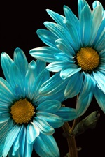 Preview iPhone wallpaper Blue petals chamomile, black background