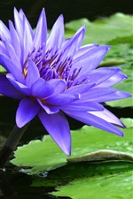 Blue water lily flower close-up, green leaf, pond
