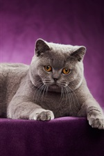 Preview iPhone wallpaper British Shorthair, cat, purple background