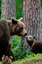 Brown bears family, trees