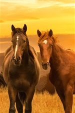 Brown horses, meadow, sunset