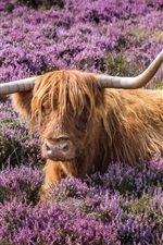 Preview iPhone wallpaper Bull, horns, flowers, meadow