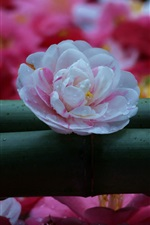 Preview iPhone wallpaper Camellia, trio, white, pink, red flowers
