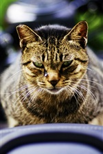 Cat front view, face, blurry background