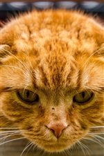 Preview iPhone wallpaper Cat front view, head, paws