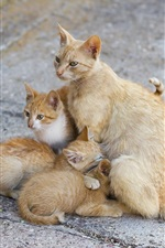Preview iPhone wallpaper Cat mom and three kittens