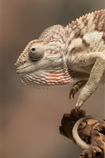 Preview iPhone wallpaper Chameleon, animals close-up