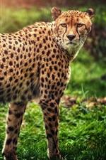 Preview iPhone wallpaper Cheetah look back, predator, green grass