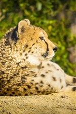 Cheetah, wild cat, predator, rest