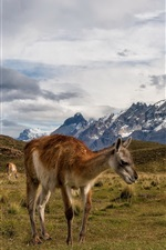 Preview iPhone wallpaper Chile, llamas, grass, mountains