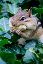Chipmunk eat peanuts, rodent, green leaves