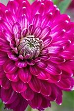 iPhone壁紙のプレビュー ダリアクローズアップ、ピンクの花弁、茎、庭