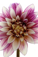 Preview iPhone wallpaper Dahlia macro photography, petals, white background