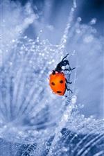 Preview iPhone wallpaper Dandelion, water drops, ladybug