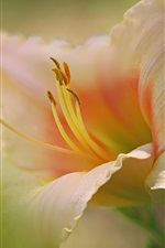 Preview iPhone wallpaper Daylilies, petals, stamens