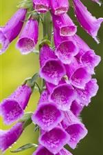 Preview iPhone wallpaper Digitalis, pink flowers, water drops