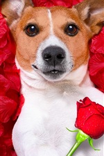 Preview iPhone wallpaper Dog lying on flowers, red roses