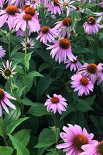 Preview iPhone wallpaper Echinacea flowers, pink, garden