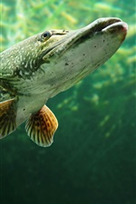 Preview iPhone wallpaper Fish, underwater, water