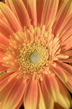 Preview iPhone wallpaper Flower close-up, gerbera, orange petals