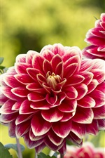 Preview iPhone wallpaper Flowers, garden, dahlias, red-white petals