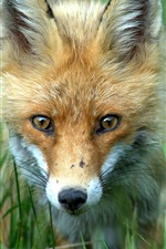 Preview iPhone wallpaper Fox front view, head, face, grass