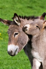 Preview iPhone wallpaper France, foal, donkey, grass
