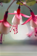 Preview iPhone wallpaper Fuchsia flowers macro photography