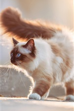 Preview iPhone wallpaper Furry cat, blue eyes, tail