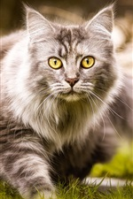 Preview iPhone wallpaper Furry cat walk on the grass, yellow eyes