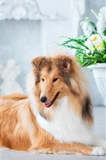 Preview iPhone wallpaper Furry collie, flowers