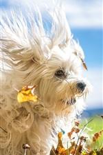 Furry white dog, leaves, wind