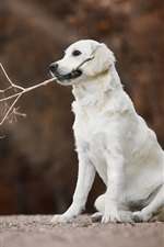 Preview iPhone wallpaper Golden Retriever, white dog, twigs