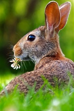 Preview iPhone wallpaper Gray hare look back, grass